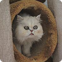 Adopt A Pet :: Chopin - Canyon Country, CA