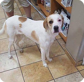 Hound (Unknown Type) Mix Dog for adoption in Las Vegas, Nevada - Alpine