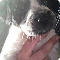Adopt A Pet :: Gunther - Foristell, MO