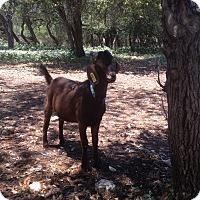 Adopt A Pet :: Rusty - Austin, TX