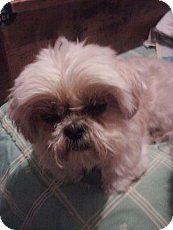 Shih Tzu Dog for adoption in Berlin, Wisconsin - Opal
