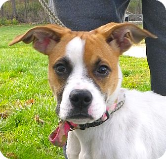 Boxer Mix Puppy for adoption in Metamora, Indiana - Mary Jane