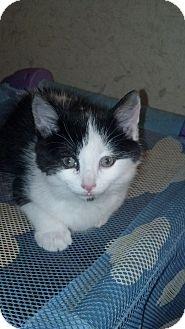 Domestic Shorthair Kitten for adoption in Sterling Hgts, Michigan - Sheena