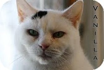Domestic Shorthair Cat for adoption in Union Lake, Michigan - Vanilla>^.,.^< $35 adoption