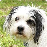 Adopt A Pet :: Topple - Mocksville, NC