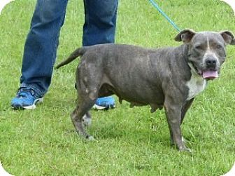 American Pit Bull Terrier Mix Dog for adoption in Slidell, Louisiana - Sybil