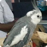 Adopt A Pet :: Apollo - Lenexa, KS