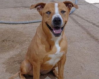 Boxer/Beagle Mix Dog for adoption in Chandler, Arizona - FRANKIE