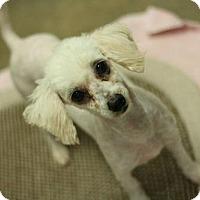 Adopt A Pet :: Snow - Canoga Park, CA