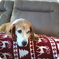 Basset Hound Mix Dog for adoption in Gilbertsville, Pennsylvania - Chubby