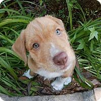Adopt A Pet :: Juju - Humble, TX