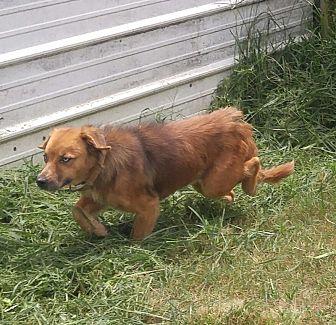 Australian Shepherd/Dachshund Mix Dog for adoption in Columbia, Kentucky - Athena
