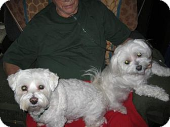 Bichon Frise/Maltese Mix Dog for adoption in Fultonham, New York - Georgie & Gracie