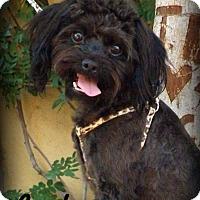 Maltese/Poodle (Miniature) Mix Dog for adoption in Anaheim Hills, California - Jackson