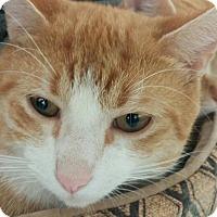 Adopt A Pet :: Cheeto - New Smyrna Beach, FL