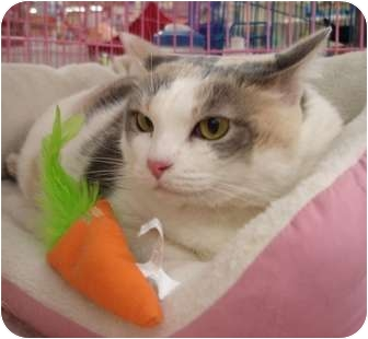 Domestic Shorthair Cat for adoption in Chesapeake, Virginia - Clarice