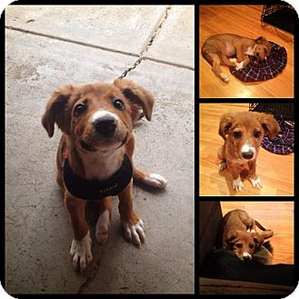 Collie Mix Puppy for adoption in Chicago, Illinois - SUNSHINE