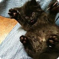 Adopt A Pet :: Nitro - Sterling Hgts, MI