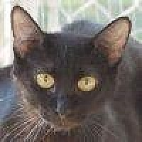 Domestic Shorthair Cat for adoption in Lago Vista, Texas - Cecelia