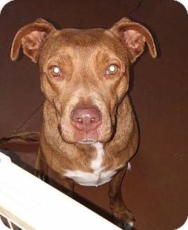 Labrador Retriever/Retriever (Unknown Type) Mix Dog for adoption in Oberlin, Ohio - Honey