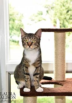Domestic Mediumhair Cat for adoption in Rockaway, New Jersey - Mickey
