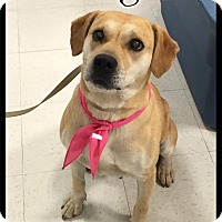 Adopt A Pet :: Ginger (reduced fee) - Brattleboro, VT