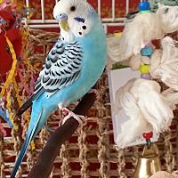 Adopt A Pet :: Petey & Tweetie - St. Louis, MO