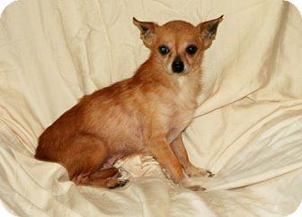 Chihuahua Dog for adoption in Umatilla, Florida - Mighty