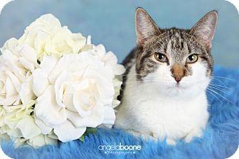 Domestic Shorthair Cat for adoption in Shakopee, Minnesota - River C1197