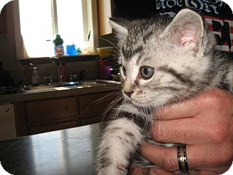 Domestic Shorthair Kitten for adoption in Fallon, Nevada - Jeanie