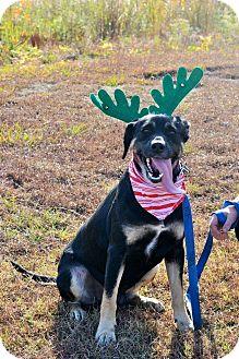 Labrador Retriever Mix Dog for adoption in Hazlehurst, Georgia - Nash