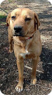 Labrador Retriever Mix Dog for adoption in Capon Bridge, West Virginia - Alice
