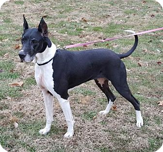 Great Dane Dog for adoption in Champaign, Illinois - Sadie