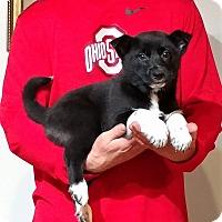 Adopt A Pet :: Max - New Philadelphia, OH