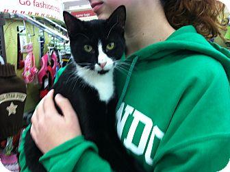 Domestic Shorthair Cat for adoption in Riverhead, New York - Leo