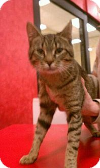 Domestic Shorthair Kitten for adoption in Pittstown, New Jersey - Quake