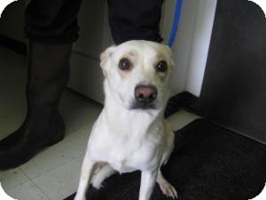 Labrador Retriever Mix Puppy for adoption in Rocky Mount, North Carolina - Bonnie
