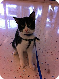 Domestic Shorthair Cat for adoption in Tracy, California - Matters-ADOPTED!