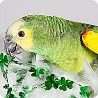 Adopt A Pet :: Corky - St. Louis, MO