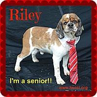Adopt A Pet :: Riley - Plano, TX