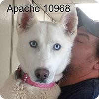 Adopt A Pet :: Apache - baltimore, MD