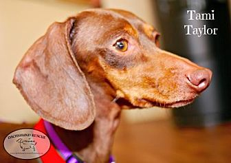 Dachshund Dog for adoption in Houston, Texas - Tami Taylor