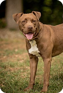 Retriever (Unknown Type) Mix Dog for adoption in simpsonville, South Carolina - Max