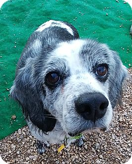 Cocker Spaniel/Beagle Mix Dog for adoption in New River, Arizona - Amelia