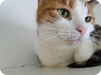 Domestic Shorthair Cat for adoption in China, Michigan - Sassafras