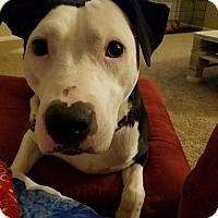 Adopt A Pet :: Whitley - Dayton, OH