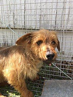Terrier (Unknown Type, Small) Mix Dog for adoption in Snyder, Texas - Einstein