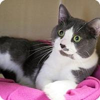 Domestic Shorthair Cat for adoption in Lincolnton, North Carolina - Runt