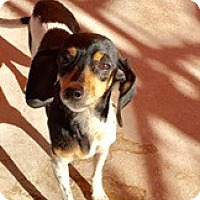 Adopt A Pet :: BABY Girl - Fort Worth, TX