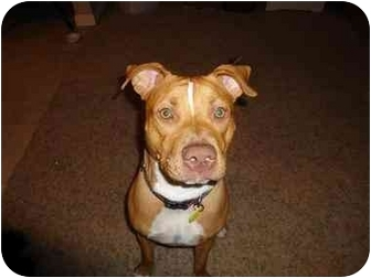 Pit Bull Terrier Mix Dog for adoption in Scottsdale, Arizona - Nala